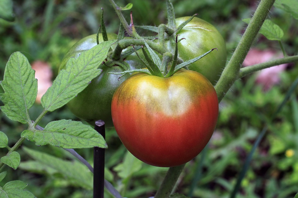 Tomato, Vegetable, Food, Plant, Heirloom, Red, Orange
