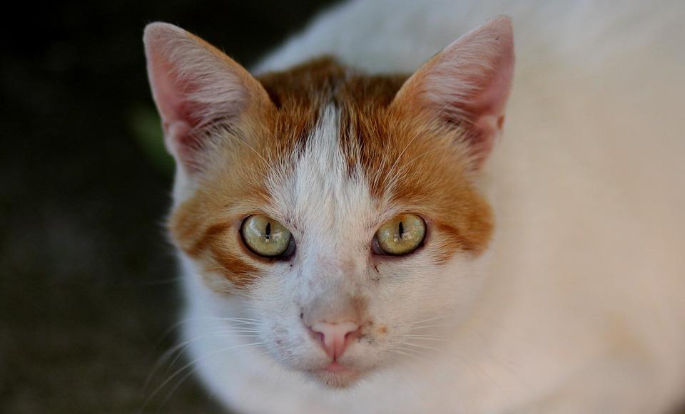 Cat, White, Orange, Portrait