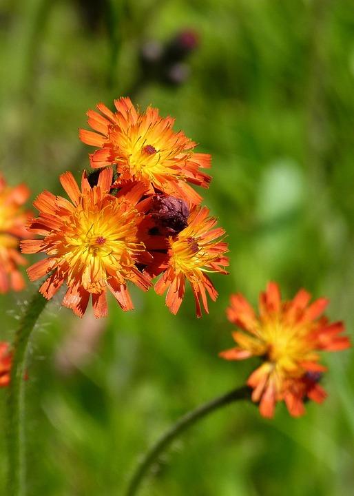 Wild Flower, Plant, Meadow, Orange, Yellow, Flower