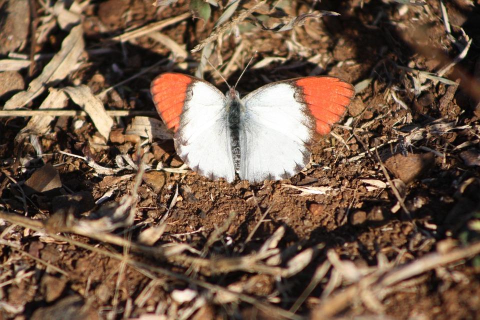 Butterfly, Orange Wings, South Africa