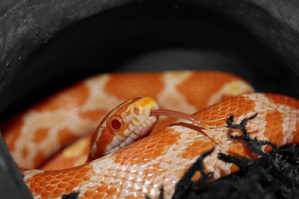 Corn Snake, Snake, Orange, Yellow, Pantherophis