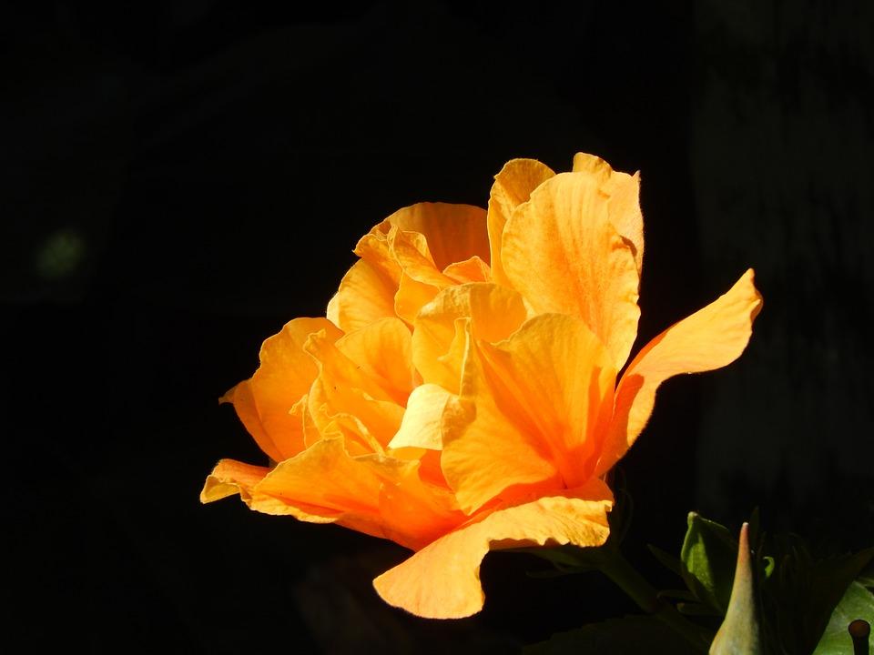 Ibisco, Orange, Yellow, Flower, Light