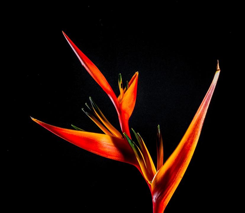 Strelitzia, Blossom, Bloom, Flower, Red, Orange, Yellow