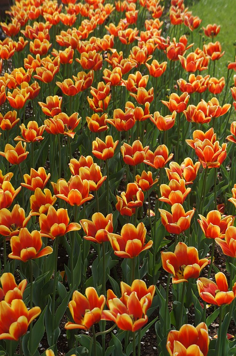 Orange, Yellow, Tulips, Flower, Orange Yellow Tulip