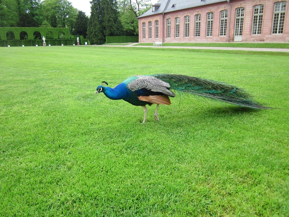Pavo Cristatus, Peacock, Orangery, Schwetzingen