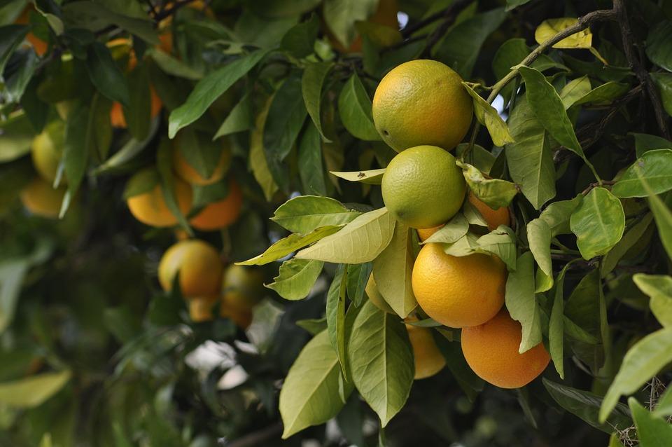 Oranges, Green, Fruit, Harvest, Orange, Food, Colorful