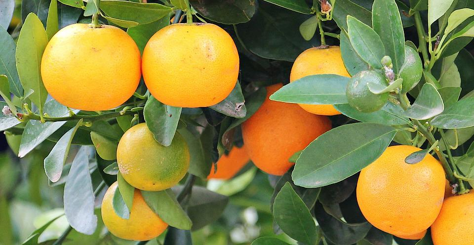 Oranges, Orange Tree, Market, Fruits, Tree