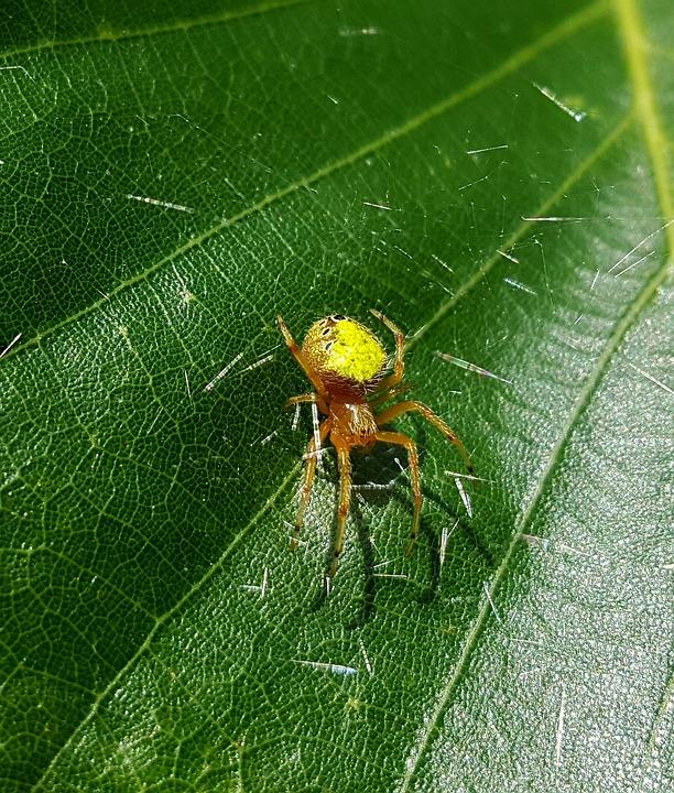 Spider, Orb Weaver, Web, Silk, Arachnid, Creature, Leaf
