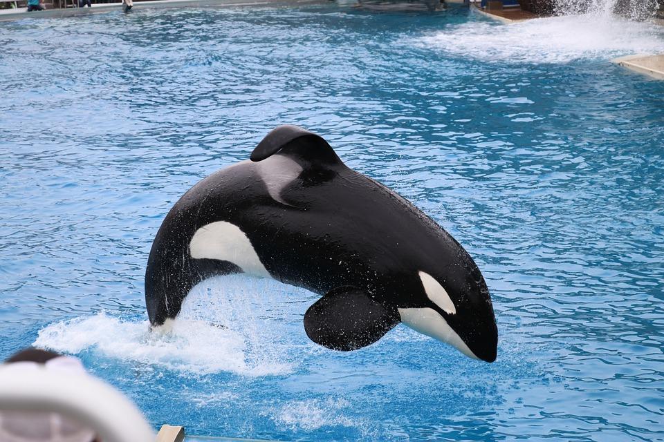 Orca, Sea World, San Diego, Water, Mammal, Jumping