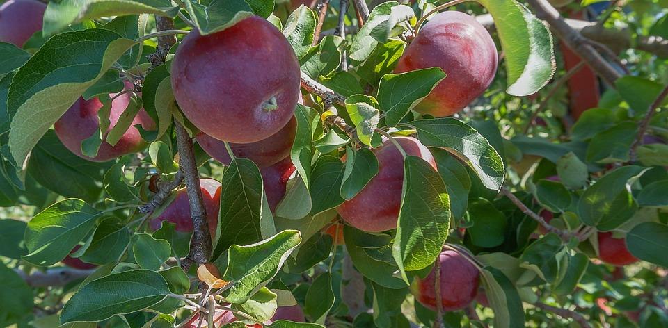 Apples, Fruit, Orchard, Flavor