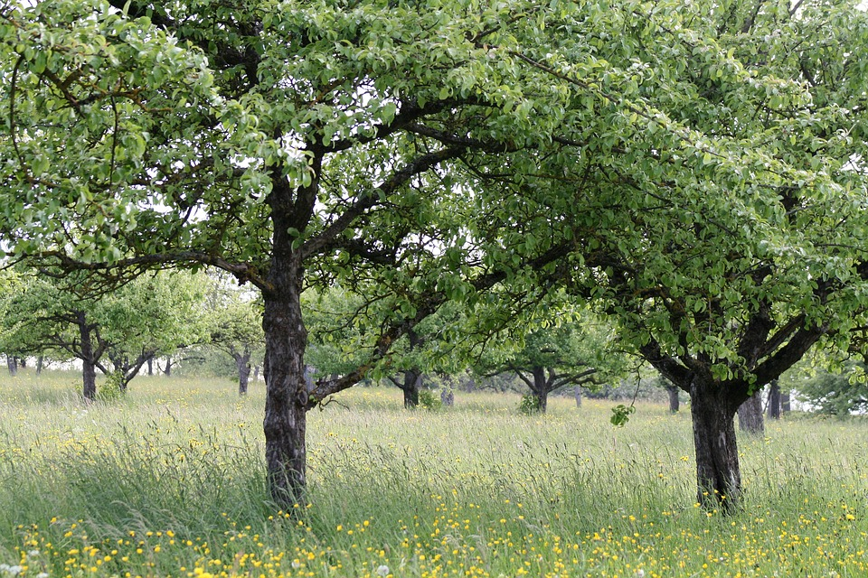 Orchard, Fruit Trees, Fruit Tree, Nature, Landscape