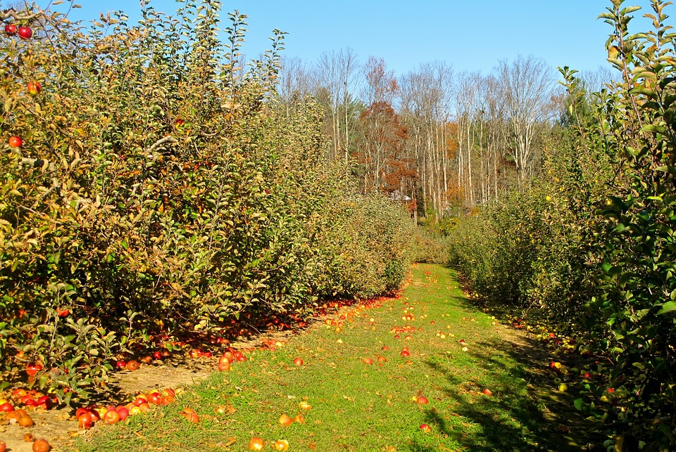 Orchard, Apple, Apple Orchard, Nature, Fruit, Food