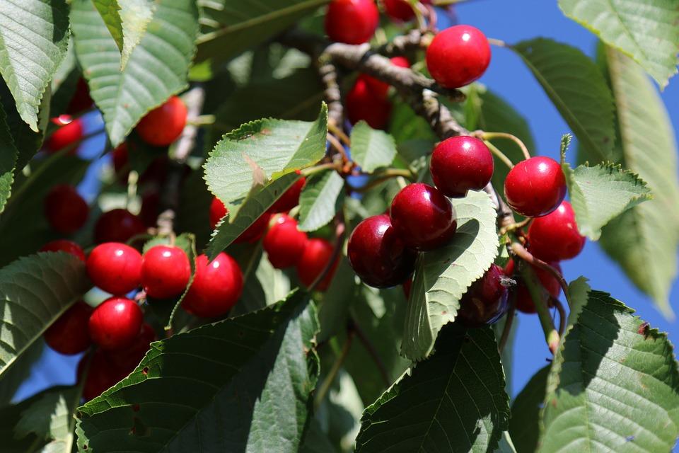 Cherries, Orchards, Lorraine