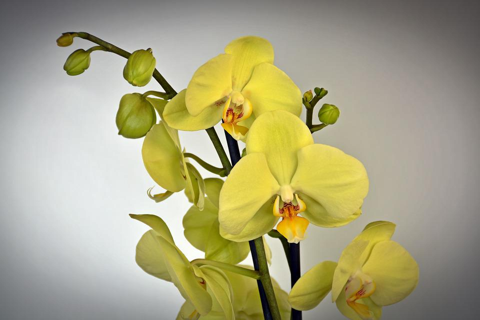 free photo orchid bloom plant blossom yellow exotic flower  max pixel, Natural flower