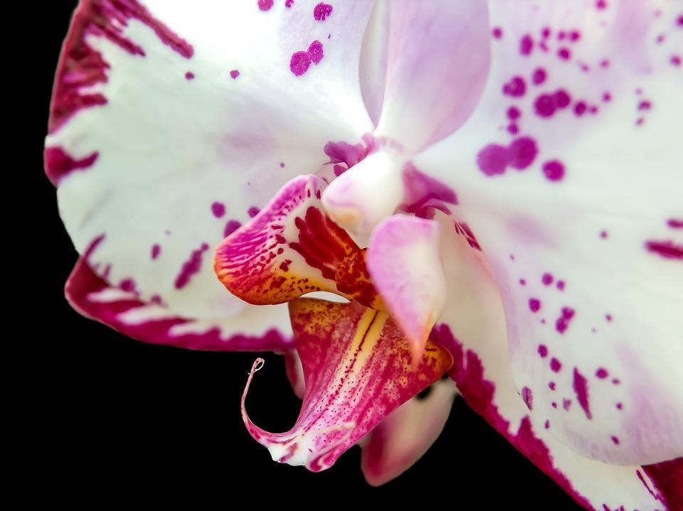 Orchid, Phalaenopsis, Flower, Butterfly Orchid, Blossom