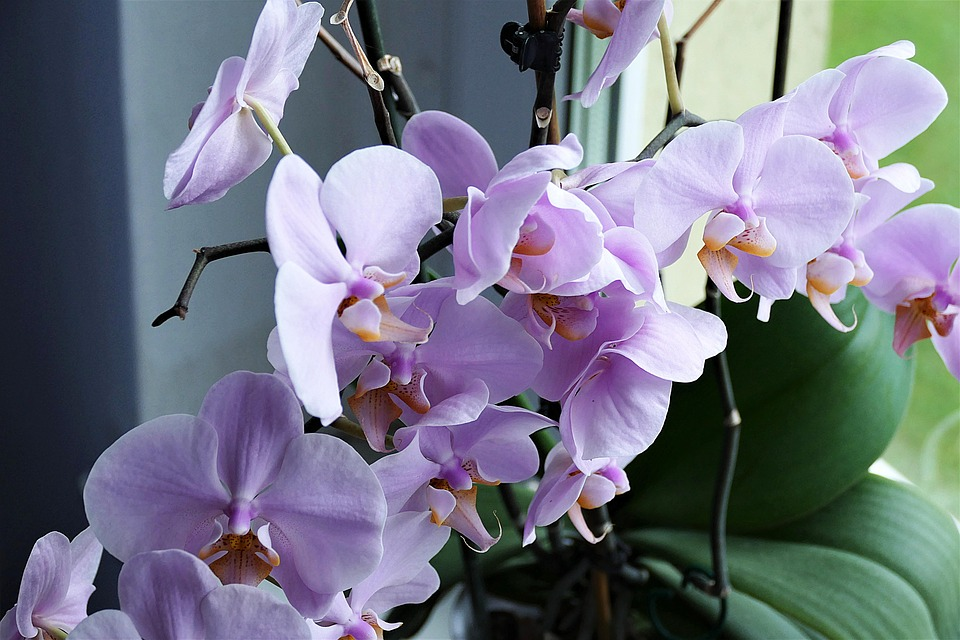 Orchid, Flower, Close, Blossom, Bloom, Houseplant