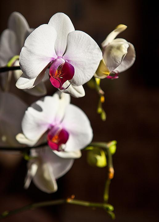 Orchid, Orchis, Flower, Blooming, Flower Buds, The Stem