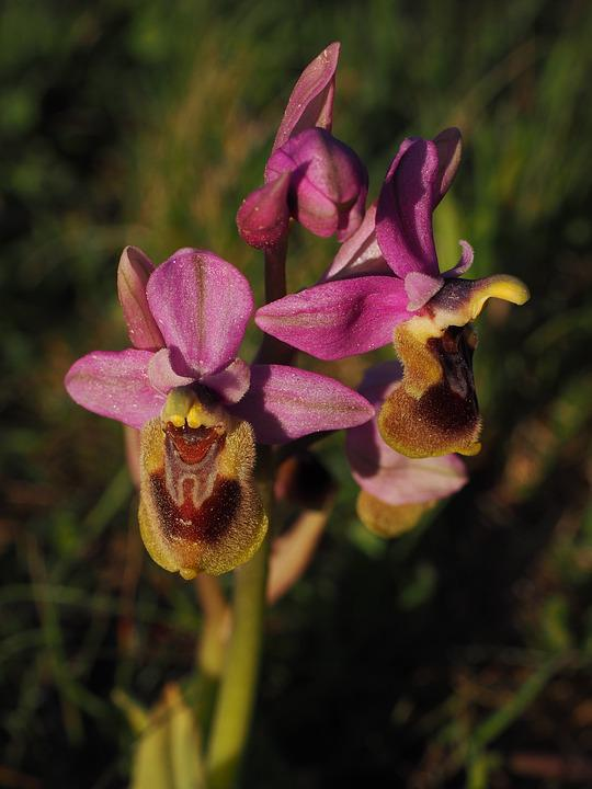Ophrys Tenthredinifera, Orchid, Flower, Blossom, Bloom