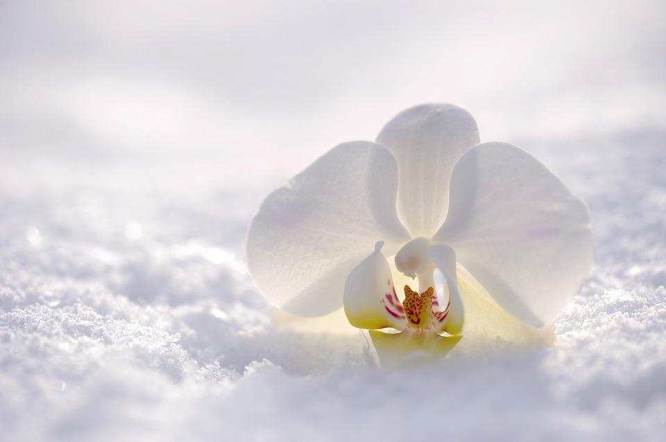 Orchid, Flower, Blossom, Bloom, Nature, Snow, Sun