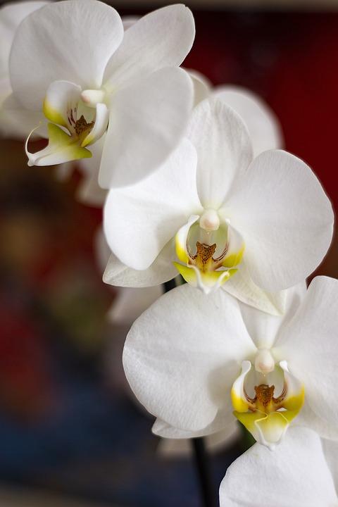 Orchid, White, Closeup, Potted Plant, Flower, Flora