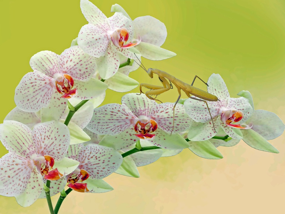 Mantis, Orchid, Flower, Animals, Insect