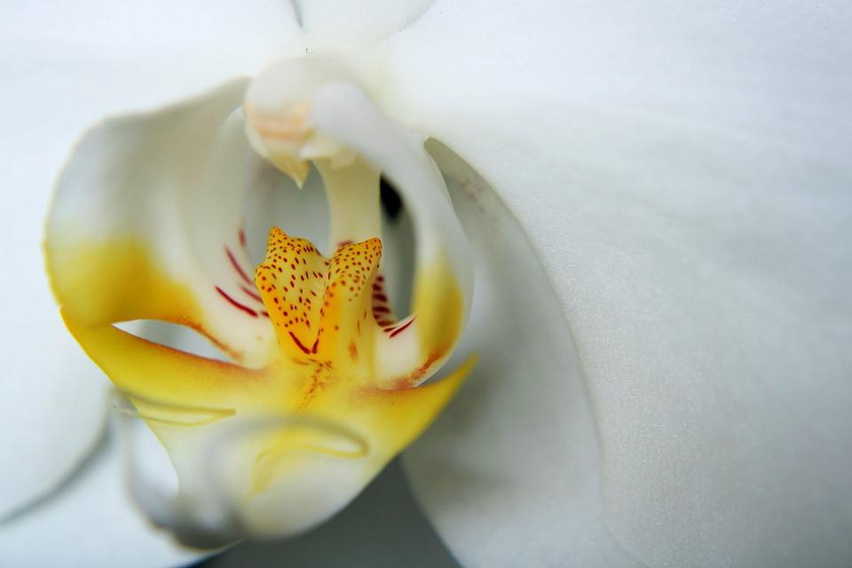 Orchid, Ornamental Plant, Orchidaceae, Flower, White
