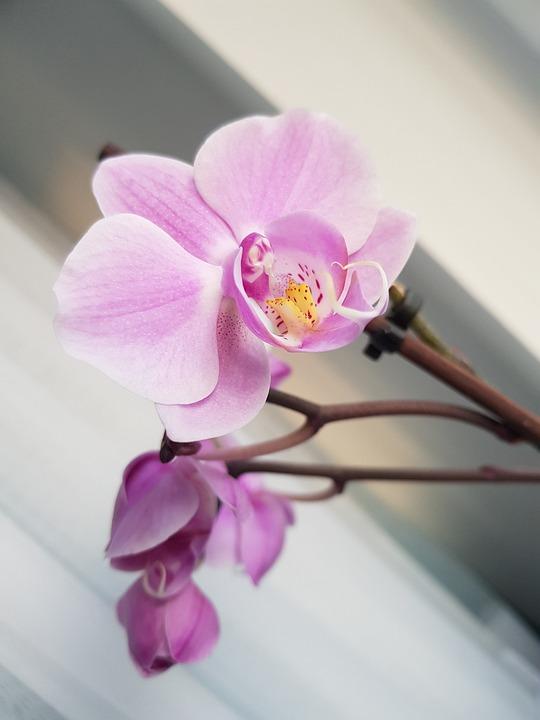 Flower, Petal, Nature, Flora, Orchid, Romantic
