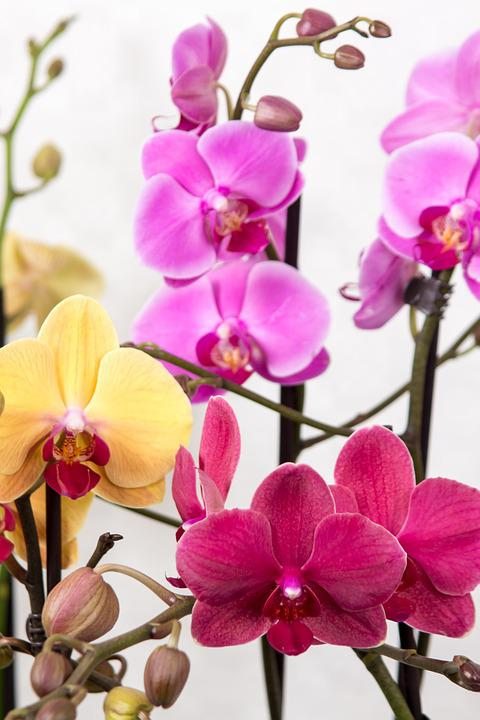 Orchid, Phalaenopsis, Butterfly Orchid, Tropical, Pink