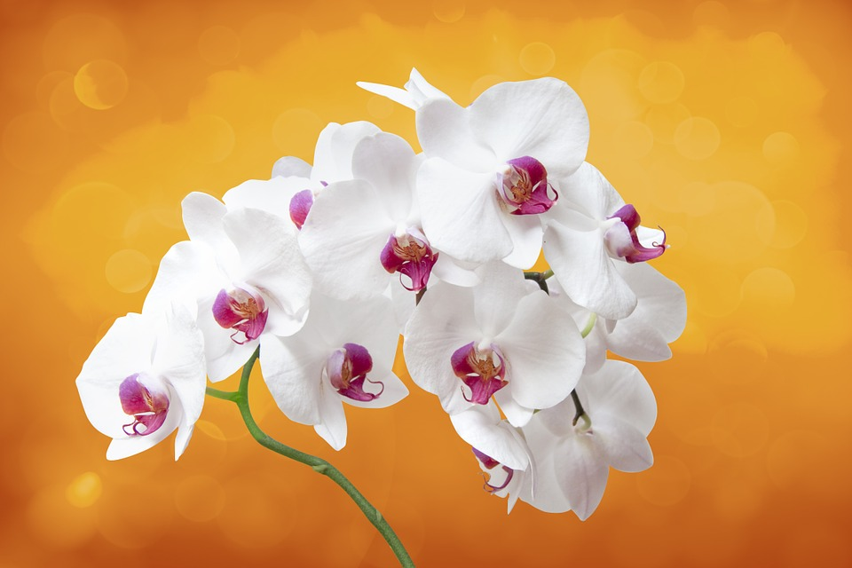 Flower, Orchis, Orchid, Plant, Flower Room