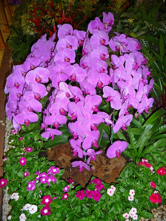 Orchid, Purple, Thailand, Tropical, Exotic, Flower