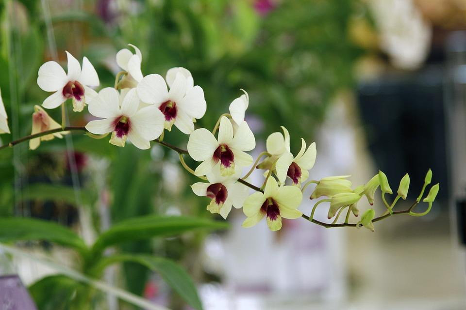 Thailand Orchids, The Trucker Gu Lawai, Orchid