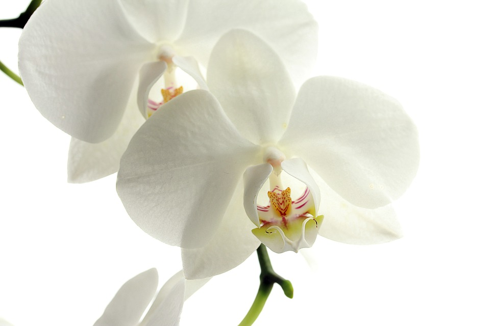 Flower, Flowers, Nature, Plant, Orchid, White, Summer