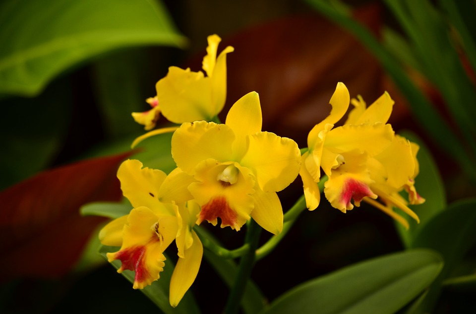 Free photo orchids cymbidiums yellow tropical flowers exotic max pixel orchids cymbidiums flowers exotic tropical yellow mightylinksfo