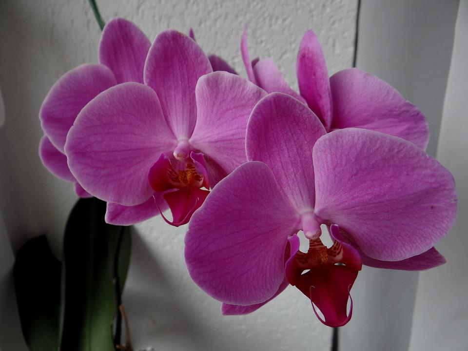 orchids flowers houseplants purple