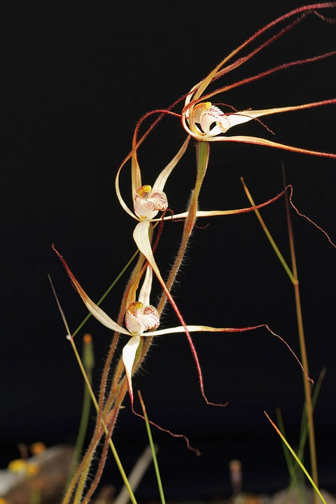 Western Wispy Spider Orchid, Orchids, Wildflowers