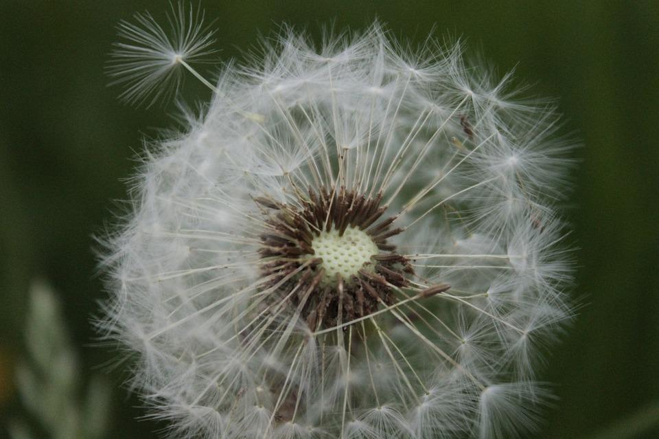 Ordinary, Dandelion, Pointed Flower, Dandelion Leaf