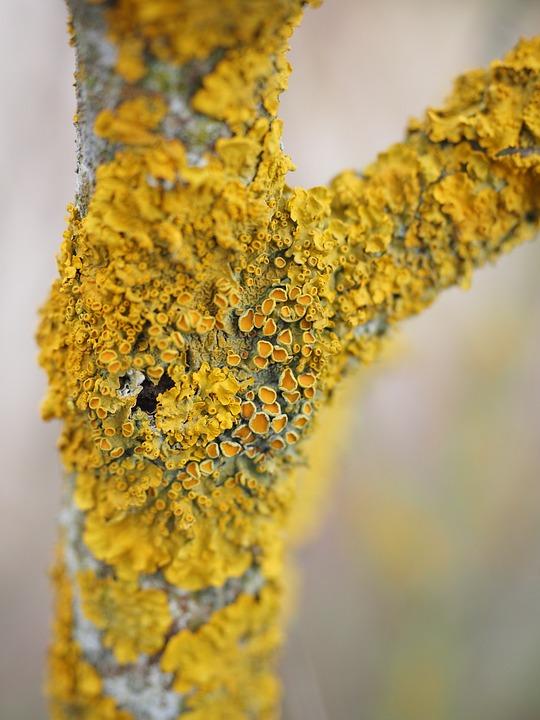 Ordinary Gelbflechte, Tree, Fouling, Lichen, Road