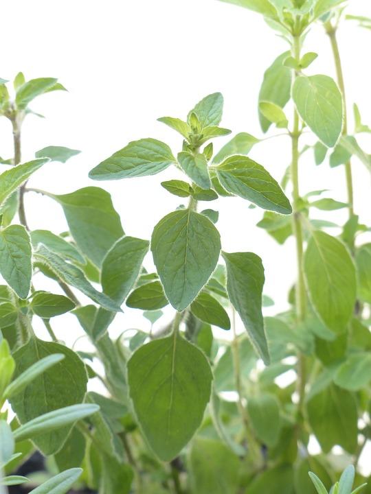 Oregano, Spice, Herb, Kitchen Spice, Kitchen Herb