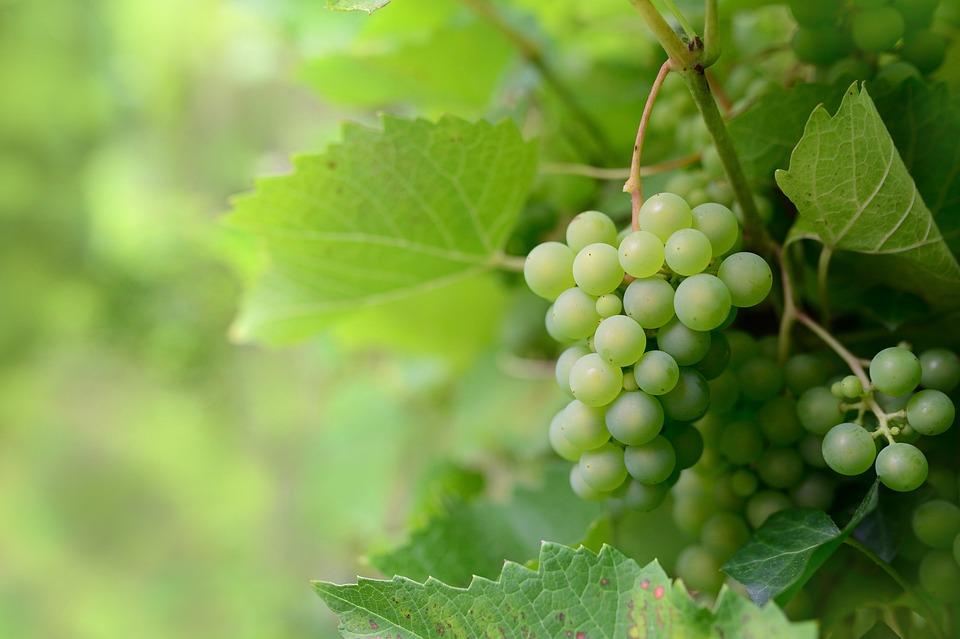 Fruit, Grapes, Vine, Healthy, Organic
