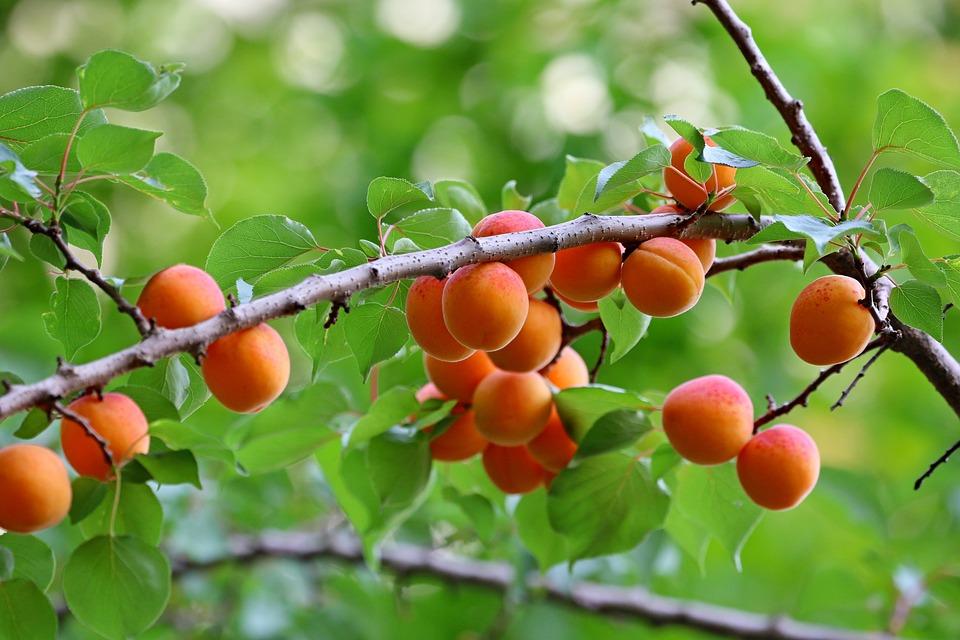 Apricots, Fruits, Food, Harvest, Fresh, Ripe, Organic