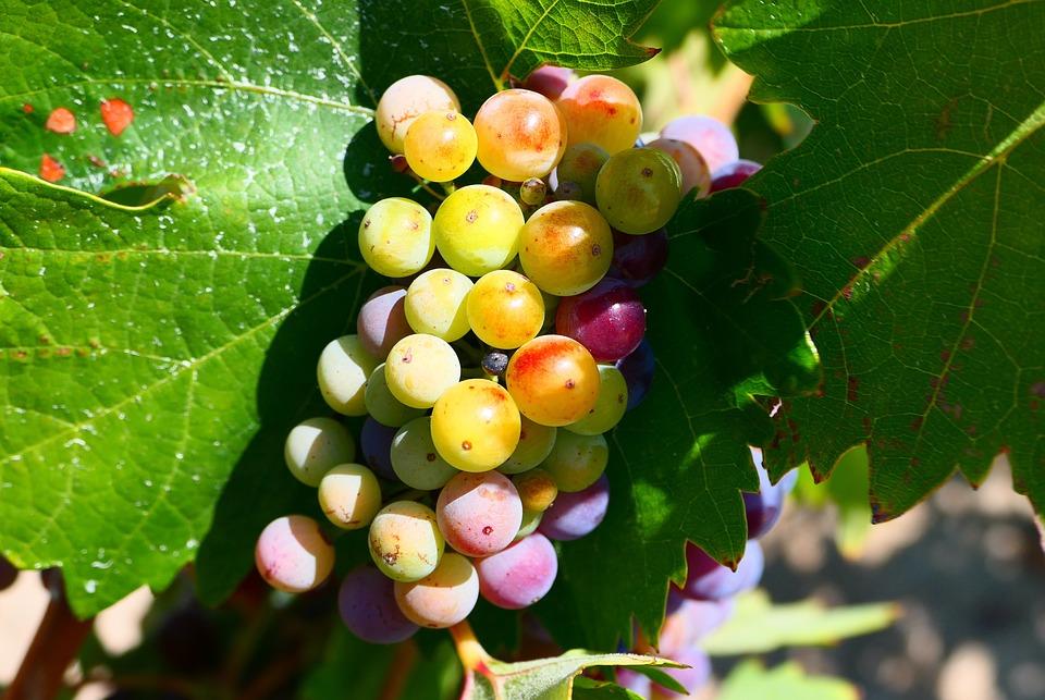 Fruits, Grapes, Organic, Vines, Harvest, Vineyard