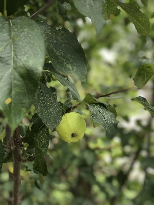 Apple, Fruits, Green, Organic, Fresh, Food, Healthy