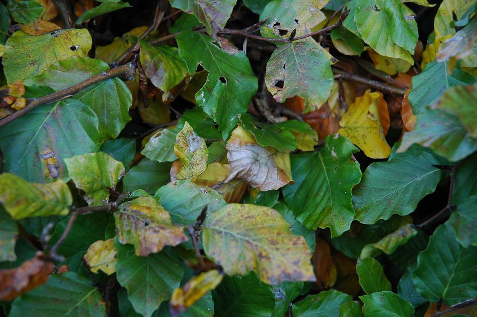 Beech, Leaves, Plant, Natural, Botanical, Organic
