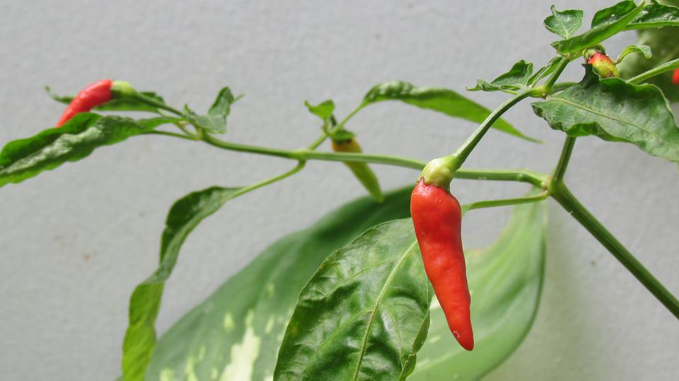 Plant, Food, Spicy, Organic, Chili, Hot, Color, Red