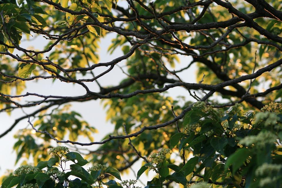 Japanese Raisin, Foliage, Tree, Organic, Agriculture