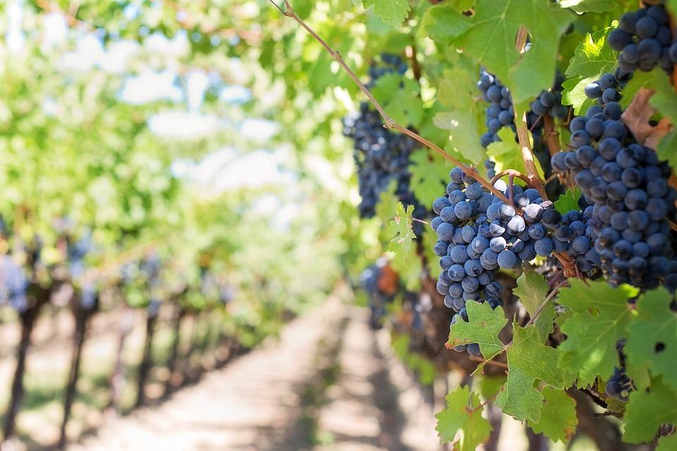 Grapes, Vines, Grapevines, Vineyard, Fruits, Organic