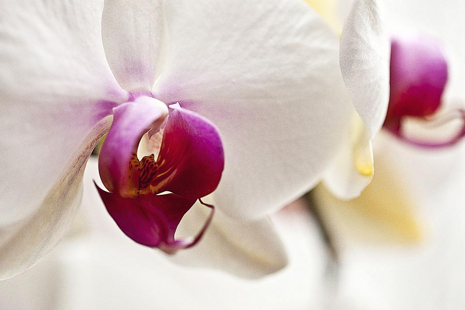 Orchis, Orchid, Flower, Blooming, Oriental Flower