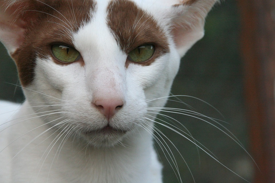 Cat, Eyes, Oriental Shorthair, Fur, Charming, Dear
