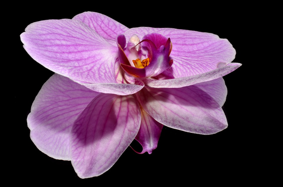 Orkide, Flower, Pink