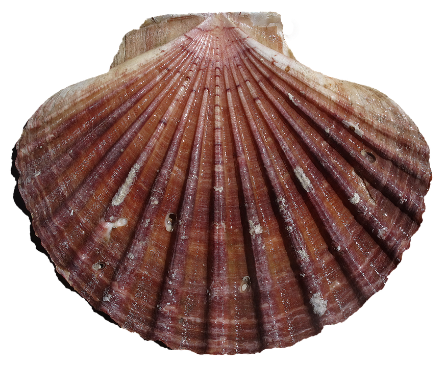 Shell, Scallop, Pilgrim Shell, Pecten Maximus, Ornament